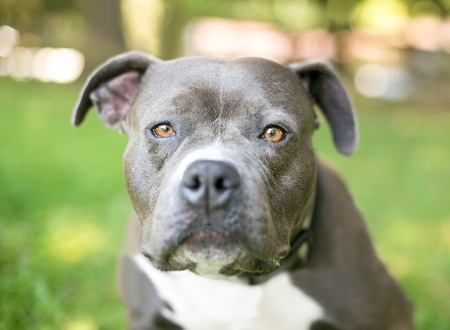 A blue and white Pit Bull Terrier mixed breed dog with a bored expression
