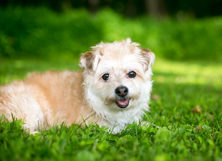 A cute Miniature Poodle / Pomeranian mixed breed dog lying in the grass