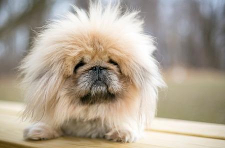 Ein flauschiger reinrassiger Pekinese-Hund Standard-Bild