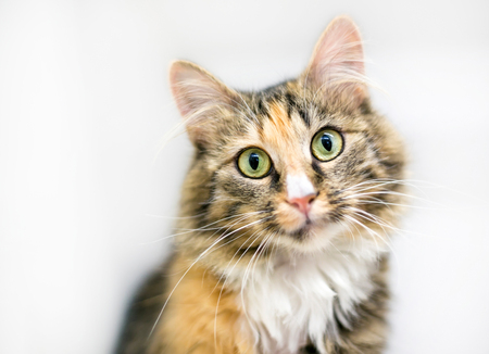 A calico tabby domestic medium haired cat, gazing at the camera with a head tilt