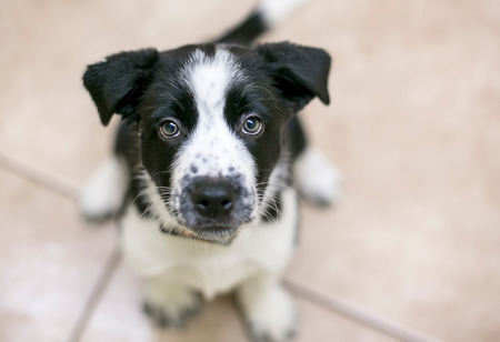 A cute black and white Border Collie mixed breed puppy looking up 免版税图像