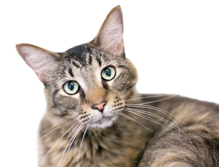 A brown tabby domestic medium hair cat listening with a head tilt Banco de Imagens