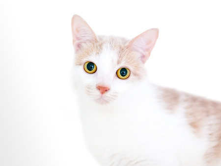 A buff and white kitten with bright yellow eyes and dilated pupils