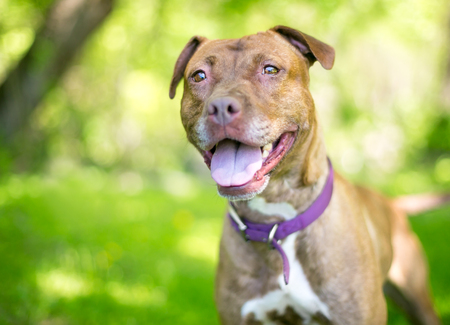 A red and white mixed breed Pit Bull type dog with a happy expression