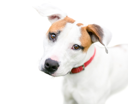 A red and white mixed breed dog with floppy ears, listening with a head tilt Banco de Imagens