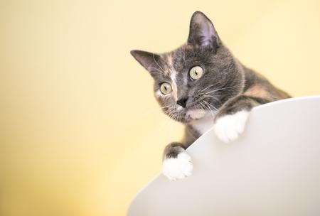 A Dilute Calico domestic shorthair cat peeking over a ledge Stock Photo