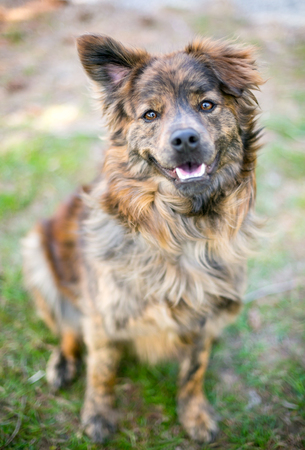 A happy mixed breed dog with one upright ear and one floppy ear 写真素材