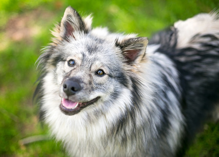 A Keeshond dog with beautiful silver and black fur Stock Photo