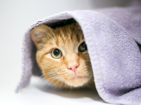 A shy orange tabby domestic shorthair cat peeking out from under a blanket