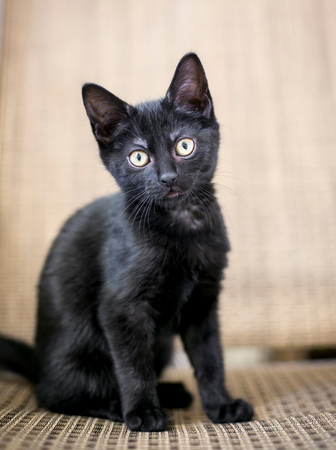 A young black kitten with yellow eyes Stock Photo