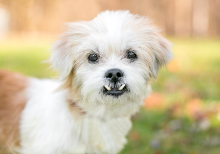 A small scruffy mixed breed dog with an underbite (malocclusion)