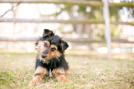 A scruffy black and red Terrier mixed breed dog listening with a head tilt