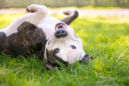 A happy Pit Bull Terrier mixed breed dog rolling in the grass