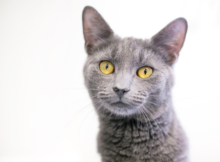 A gray domestic shorthaired cat with bright yellow eyes Stock Photo
