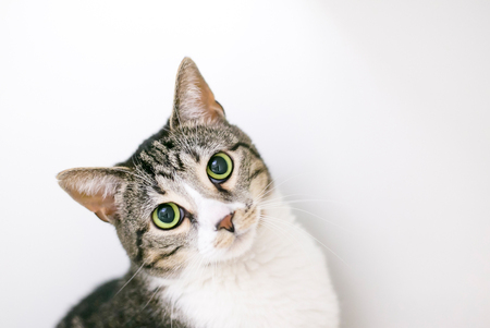 A brown tabby and white domestic shorthair cat with dilated pupils