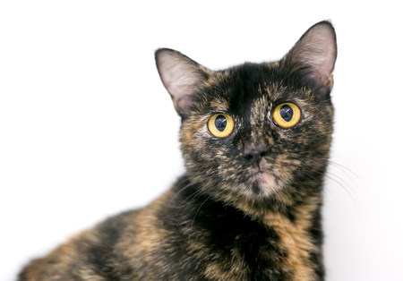 A Tortoiseshell domestic shorthair cat with yellow eyes