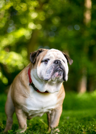 A purebred English Bulldog outdoors
