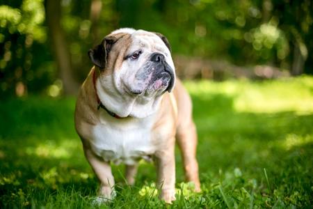 A purebred English Bulldog outdoors