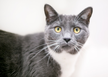 A gray and white domestic shorthair cat with yellow eyes