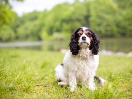 A purebred tricolor Cavalier King Charles Spaniel dog sitting next to a lake 스톡 콘텐츠