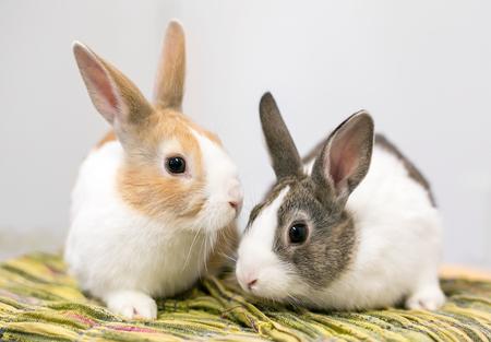 Ein Paar domestizierter niederländischer Kaninchen Standard-Bild
