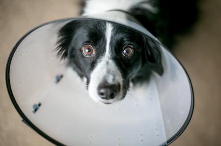Ein Border Collie Hund, der nach der Operation ein schützendes elisabethanisches Halsband trägt