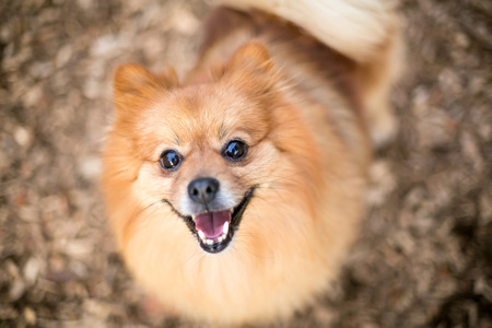 A red Pomeranian dog with a happy expression Banco de Imagens