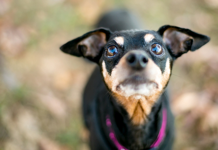 Close up of a black and red Miniature Pinscher dog