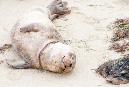 A young Harbor seal with a neck injury at Casa Beach (also known as the Children's Pool) in La Jolla, CA Banco de Imagens
