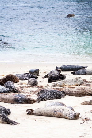 Harbor seals (Phoca vitulina) lounging at Casa Beach, also known as the Children's Pool, in La Jolla California