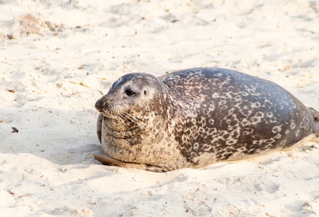 A Harbor seal (Phoca vitulina) lounging at Casa Beach, also known as the Children's Pool, in La Jolla California Stock Photo