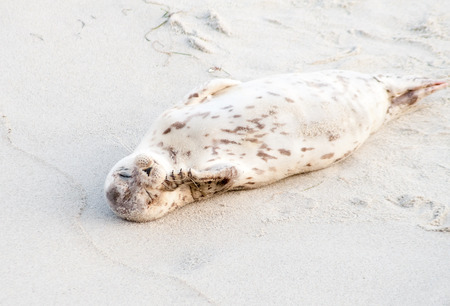 A Harbor seal (Phoca vitulina) lounging at Casa Beach, also known as the Children's Pool, in La Jolla California Stockfoto