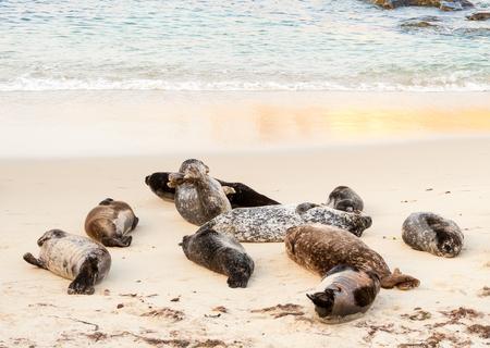 Harbor seals (Phoca vitulina) lounging at Casa Beach, also known as the Children's Pool, in La Jolla California