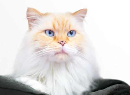A flame point Himalayan mixed breed cat with blue eyes