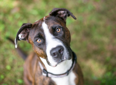A brindle and white American Bulldog mixed breed dog looking up at the camera