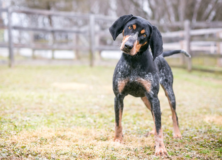 A Bluetick Coonhound dog outdoors listening with a head tilt Фото со стока