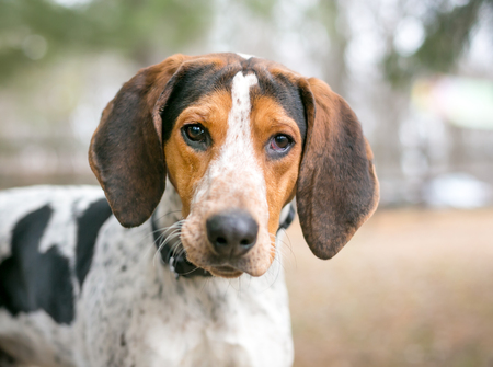 A Treeing Walker Coonhound dog outdoors Imagens