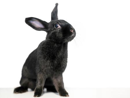 Un lapin domestique domestiqué noir sur fond blanc Banque d'images
