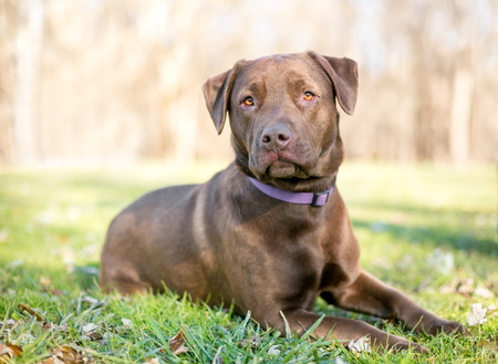 A Chocolate Labrador Retriever dog relaxing in the grass