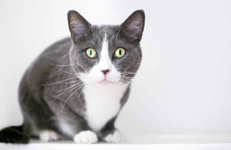 A gray and white domestic shorthair cat crouching