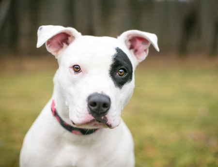 A white Pit Bull Terrier mixed breed dog with a black patch of fur over its left eye
