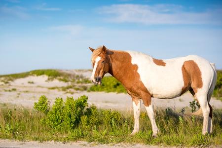 A wild pony (Equus caballus) at Assateague Island National Seashore, Maryland 免版税图像