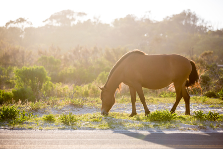 A wild pony (Equus caballus) backlit by the afternoon sun, grazing next to a road at Assateague Island National Seashore, Maryland Reklamní fotografie