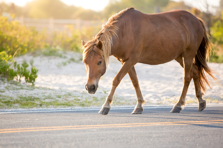A wild pony (Equus caballus) walking along a road at Assateague Island National Seashore, Maryland Stock Photo