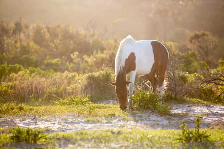 A wild pony (Equus caballus) backlit by the afternoon sun, grazing at Assateague Island National Seashore, Maryland