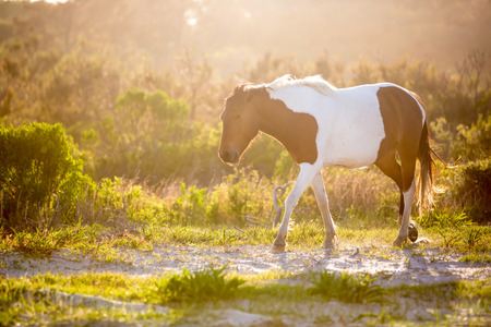 A wild pony (Equus caballus) backlit by the afternoon sun at Assateague Island National Seashore, Maryland