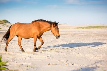 A wild pony (Equus caballus) walking among the dunes at Assateague Island National Seashore, Maryland 版權商用圖片