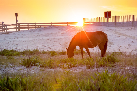 A wild pony (Equus caballus) grazing at sunrise at Assateague Island National Seashore, Maryland