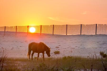 A wild pony (Equus caballus) walking near sand dunes at sunrise at Assateague Island National Seashore, Maryland