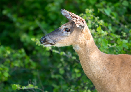 A female White-tailed Deer (Odocoileus virginianus) whose ears are infested with ticks at Assateague Island National Seashore, Maryland Banco de Imagens - 113843635